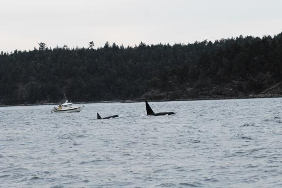 Friday Harbor, WA: Transient Orcas in Canadian waters