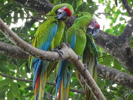 Manzanillo, Costa Rica: Grüne Aras