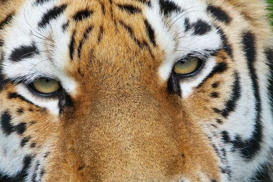 Smarden, UK: Amur Tiger