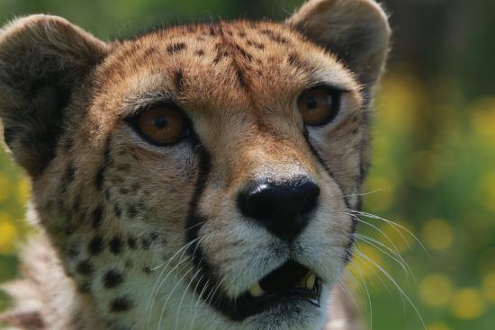 Smarden, UK: Cheetah (inside the enclosure)