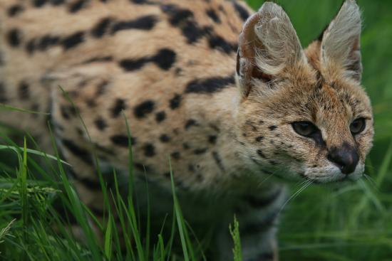 Smarden, UK: Serval (inside the enclosure)