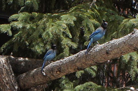 Nathrop, CO: Blue Jays live nearby