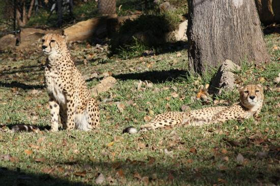 Gainesville, تكساس: Cheetah brothers lounging.
