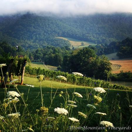 Afton, VA: Queen Anne's Lace in the vines