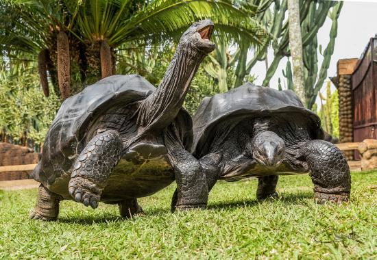 Pereira, Colombia: En Pro de la únicas pareja   de tortugas gigantes adulta de la Seychelles en Latino America