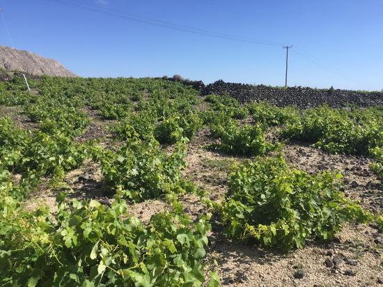 SAFOWI Santorini Food and Wine Tours: santorini vineyard