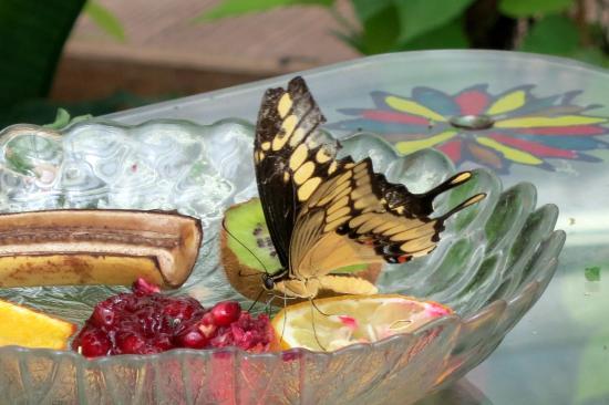Butterfly House Elbauenpark: Brasilianischer Schwalbenschwanz