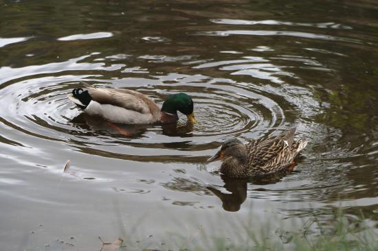 Idyllwild, CA: Ducks at Lake Fulmor