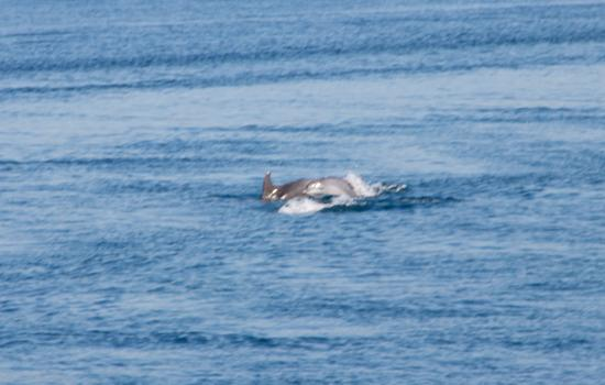 Sibenik-Knin County, Croatia: Dolphins near the Sibenik ( st Anthony) Channel !