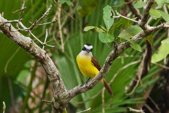 Distretto del Belize, Belize: Pitangus sulphuratus rufipennis - Schwefeltyrann