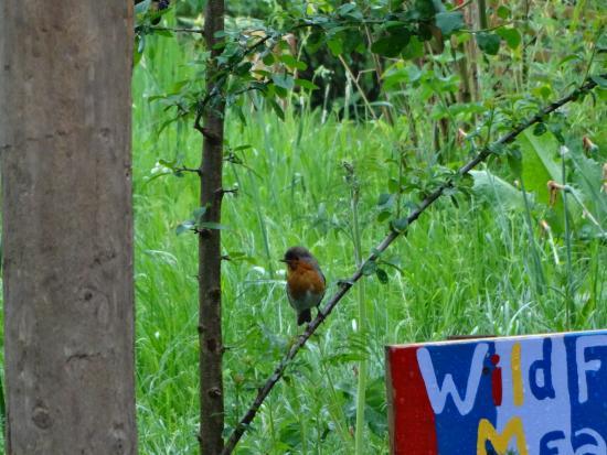 Hoarwithy, UK: robin
