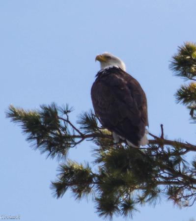 North Twin Lodge Resort: Eagles in the area!