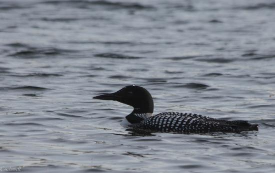 North Twin Lodge Resort: Loon diving right off the docks.