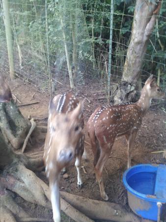 Haiku, Hawái: baby deer