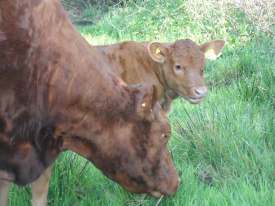 Saint Gennys, UK: Mummy & baby on the farm
