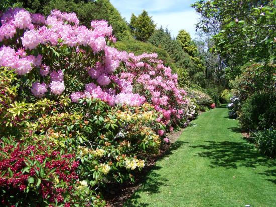 Stratford, New Zealand: Spring time Rhododendrons
