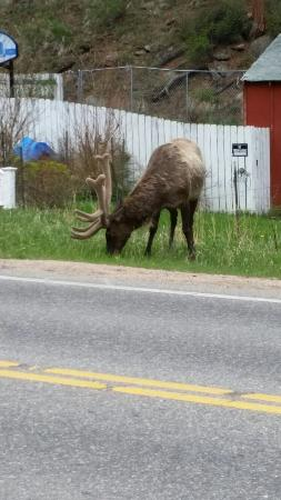 Elk grazing across the street from the Woodlands on Fall River.