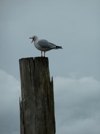 Raglan, Nueva Zelanda: There is always a seagull
