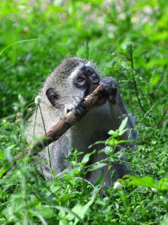 St Lucia, Sudáfrica: Monkeys