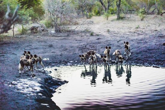 Simbambili Game Lodge: African Wild Dog's at watering hole just before sunset