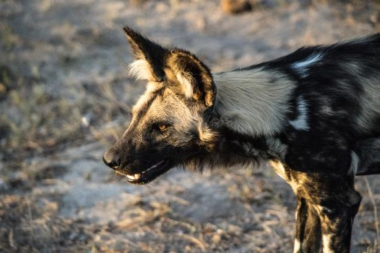 Simbambili Game Lodge: African Wild Dog up close and personal