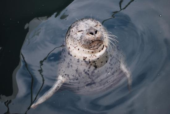 San Juan Islands, WA: Harbor Seal