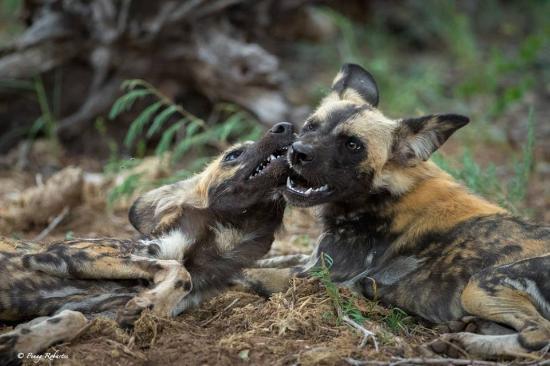 Madikwe Game Reserve, แอฟริกาใต้: Beautiful sighting of Wild Dog pack