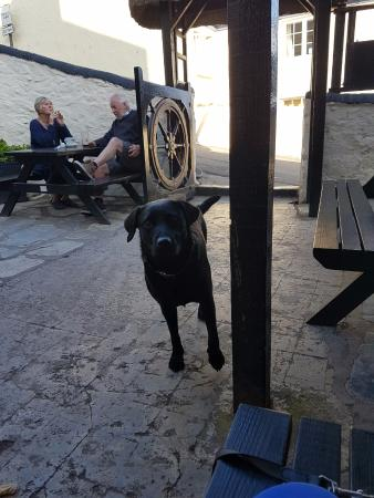 Saffy enjoying socialising with the locals out the front of Cadgwith Inn