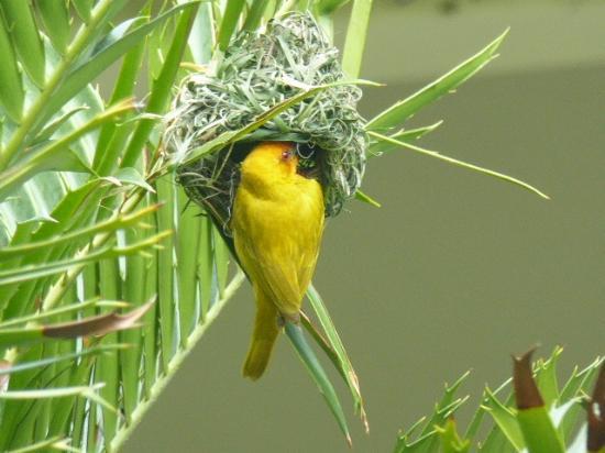 The Weaver Bird Building A Nest Picture Of Bluebay Beach Resort