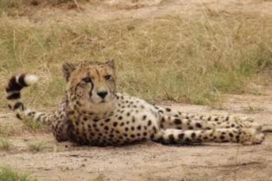 เพลตเตนเบิร์กเบย์, แอฟริกาใต้: Cats