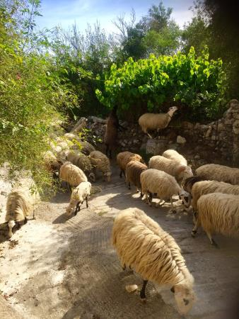Abelos Villa: Total tranquility with bells on a herd of sheep. Crete is a very safe place in 3 week tour no ev