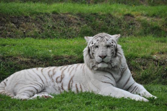 tigre blanc en majest photo de zoo de la fl che la fl che tripadvisor. Black Bedroom Furniture Sets. Home Design Ideas