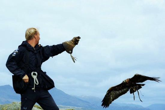 Golden Eagle 'Ben' flying on an eagle experience  In the