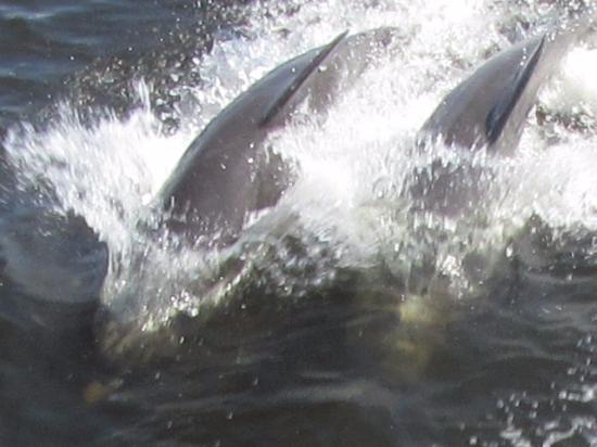 Punta Gorda, Флорида: Dolphins galore
