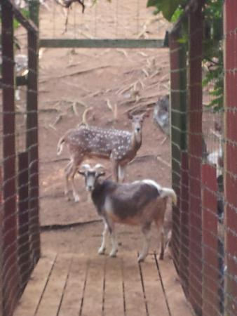 Haiku, Hawaï: goats and deer get along harmoniously on deer bridge