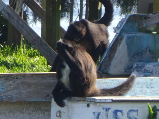 Homosassa Riverside Resort: Monkeys playing on Island