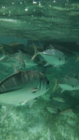 Caye Caulker, Belize: Huge fish at Shark/Ray Alley