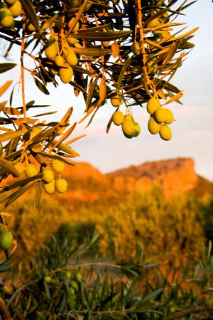 Grampians, ออสเตรเลีย: Olives