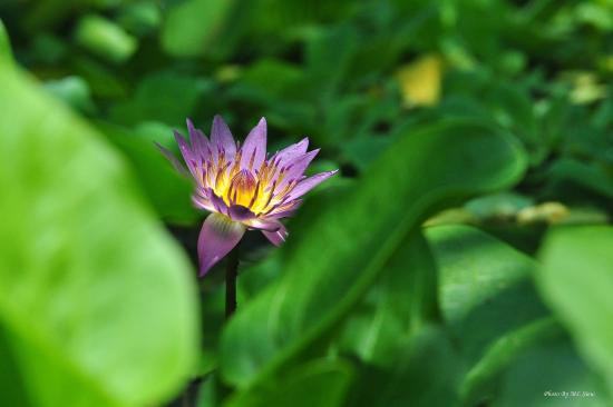 Lotus Flower Found At A Pond Inside The Park Picture Of Kuala