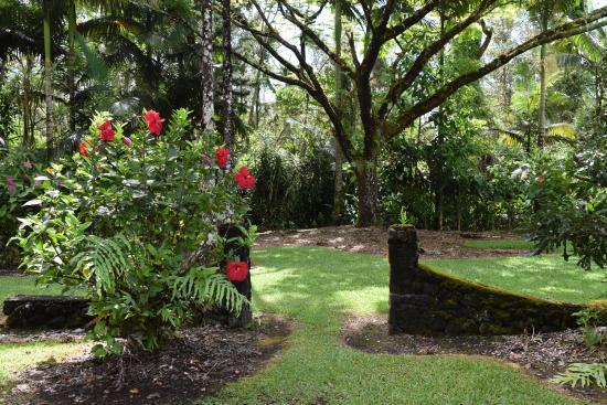 Pahoa, HI: a hibiscus next to a moss-covered stone wall on the grounds of Hale Moana