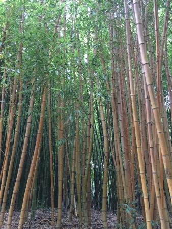 Saint-Cyprien, Frankrike: forêt de bambou