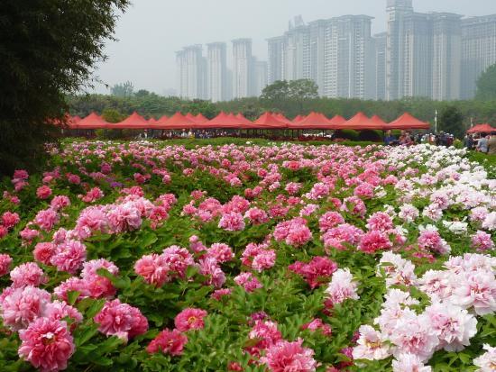 Luoyang, China: Peonies in full bloom