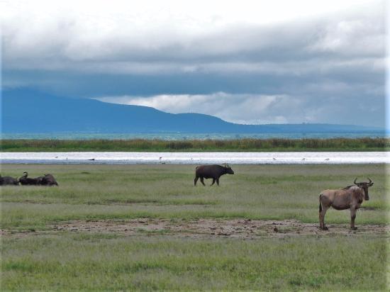 Greg Adventures: Wildebeast and buffalos at Lake Manyara NP