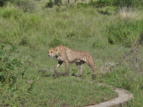 Greg Adventures: Cheeta at Serengeti NP