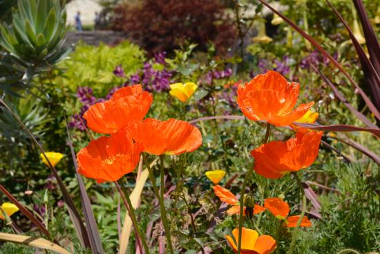 Getty Center: Poppies
