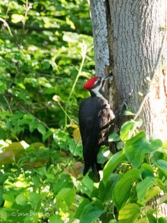Decatur, GA: Pileated Woodpecker