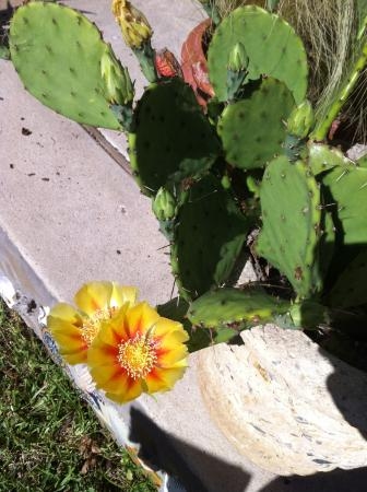 Texas White House Bed and Breakfast: Flowering cactus- used in breakfasts!