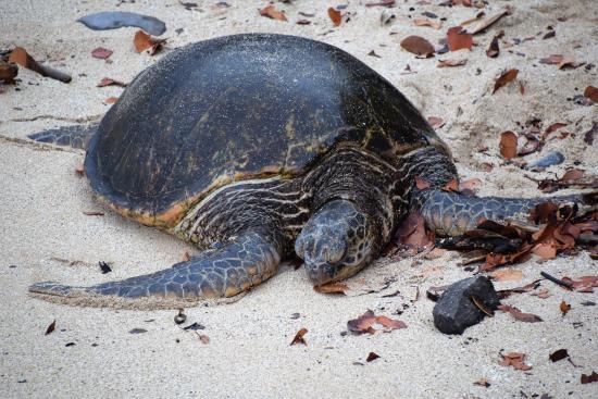 Paia, HI: Sea turtle - using a zoom lens!