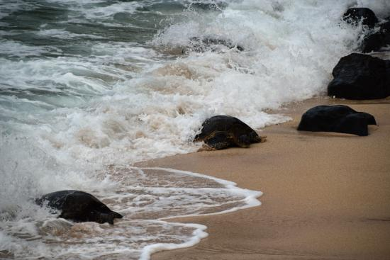 Paia, Hawái: Sea turtles emerging from the pacific