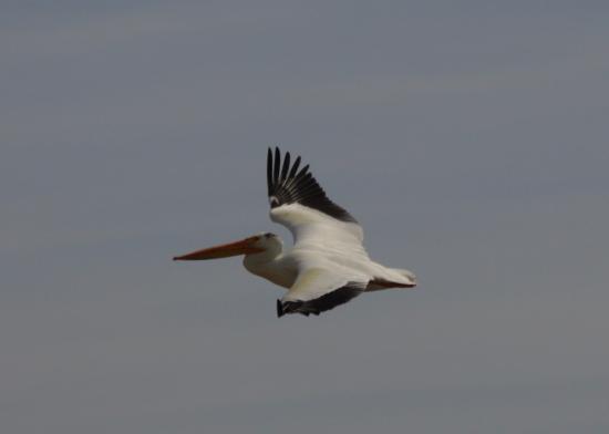 Brigham City, UT: pelicans galore!